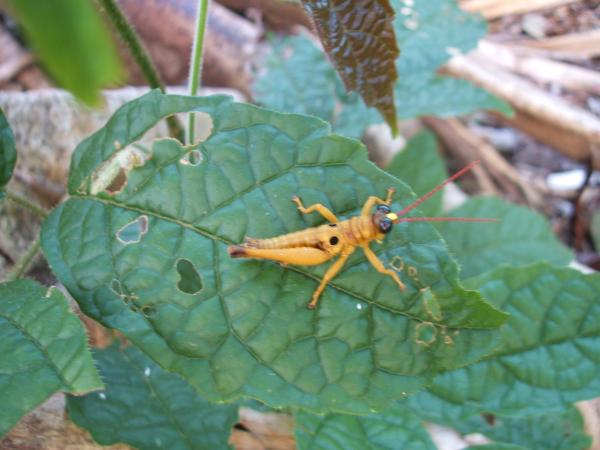 Ecuador: Terrestrial arthropods: grasshopper from outer space 2