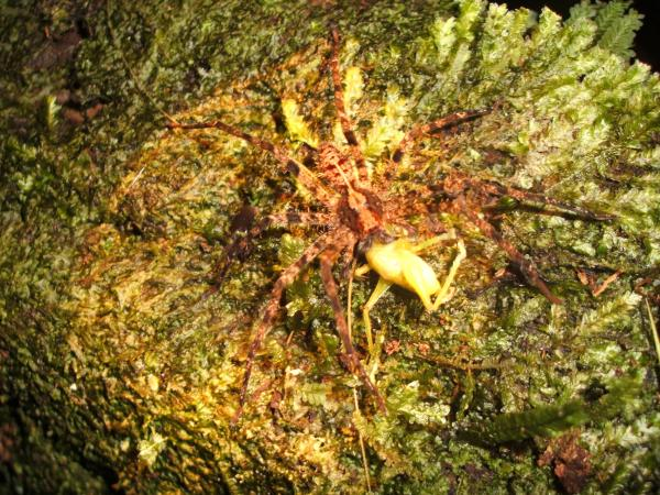 Ecuador: Terrestrial arthropods: tarantula eating grasshopper